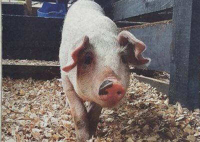 Sistema de criação de suínos em cama sobreposta